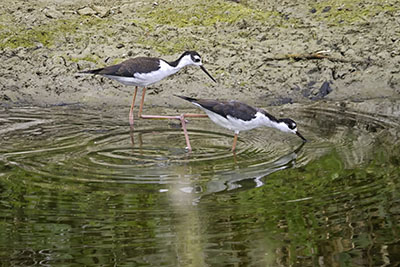 Black_Necked_Stilts