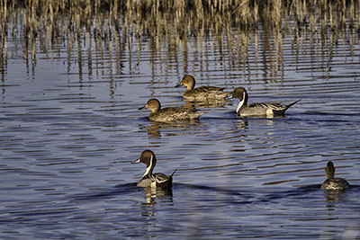 Northern_Pintail.jpg
