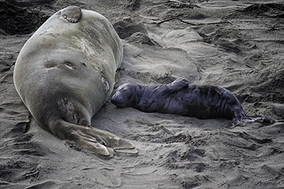 Elephant_seal_pup