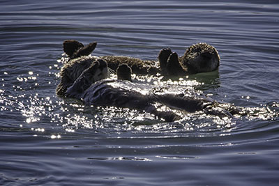 Sea_Otters2